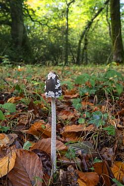 Magpie fungus (Coprinus picaceus) on woodland floor. Sussex, England, UK. October.