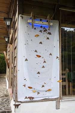 Moths (Lepidoptera) attracted to UV night left on overnight. Costa Rica.