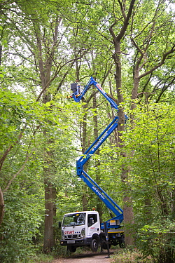 Oak processionary moth (Thaumetopoea processionea) nest removal from infested Oak (Quercus sp) tree with cherry picker. Surrey, England, UK. July 2018.