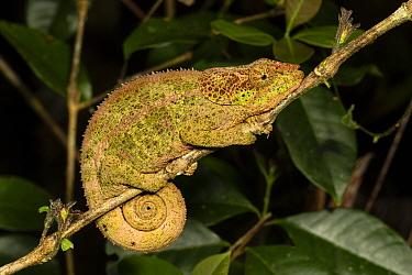 Blue legged chameleon (Calumma crypticum) female on branch. Ranomafana National Park, Madagascar.