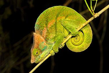 O'Shaughnessy's chameleon (Calumma oshaughnessyi) on branch. Ranomafana National Park, Madagascar.