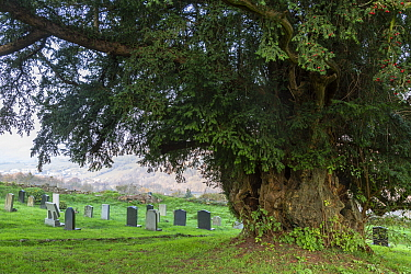 Yew (Taxus brevifolia), ancient tree aged over 700 years in churchyard. The Old Church, Penallt, Monmouthshire, Wales, UK. November 2018.