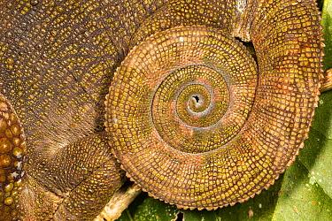 Blue-legged chameleon (Calumma crypticum), close up of tail. Ranomafana National Park, Madagascar.