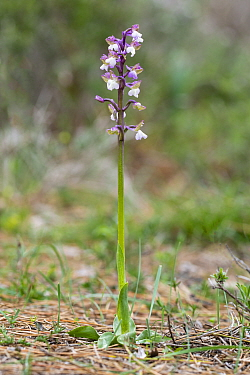 Green-winged orchid (Anacamptis morio syriaca). Western Cyprus. March.
