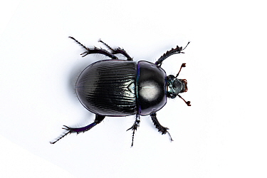 Common dor beetle (Geotrupes stercorarius) on white background. Whitelye, Monmouthshire, Wales, UK. March.