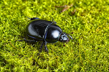 Common dor beetle (Geotrupes stercorarius) on moss. Whitelye, Monmouthshire, Wales, UK. March.
