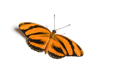 Banded orange heliconian (Dryadula phaetusa) butterfly, wings open, on white background. Native to Tropical America, including Florida. Captive.