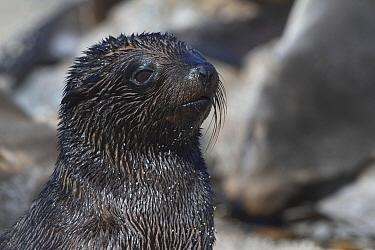 South American Fur Seal pup (Arctocephalus australis). Punta San Juan Reserve, (Reserva Nacional de Islas, Islotes y Puntas Guaneras) Peru.