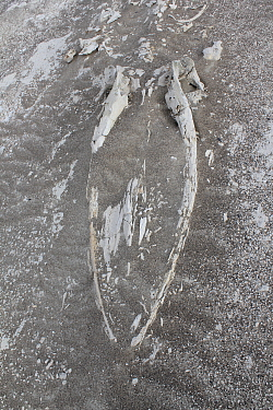 Fossilized whale in desert near Ica, Peru.