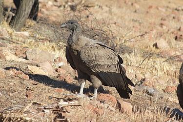 Andean condor, (Vultur gryphus), juvenile female, near Santiago, Chile, South America.
