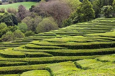 Gorreana t ea plantation on hillside with woodland beyond, Sao Miguel Island, Azores, Portugal. 2019.
