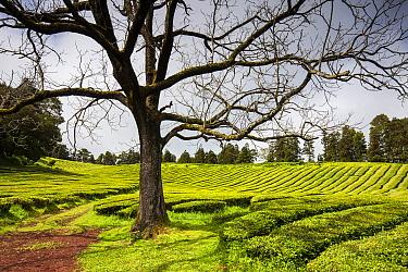 Tree in Gorreana tea plantation. Sao Miguel Island, Azores, Portugal. 2019.