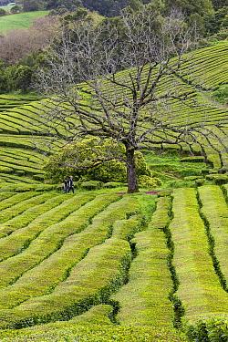 Gorreana tea plantations, people walking through plantation in distance. Sao Miguel Island, Azores, Portugal. 2019.