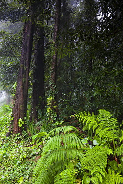 Ferns in front of Japanese cedar (Cryptomeria japonica) forest. Natural Monument of Caldeira Velha, Ribeira Grande, Sao Miguel Island, Azores, Portugal.