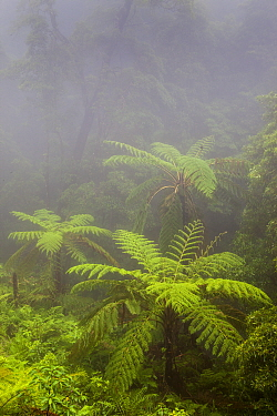 Tree ferns (Cyatheales) in humid forest. Natural Monument of Caldeira Velha, Ribeira Grande, Sao Miguel Island, Azores, Portugal.