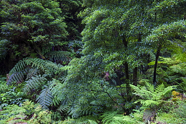 Laurel and Ferns in laurisilva forest. Natural Monument of Caldeira Velha, Ribeira Grande, Sao Miguel Island, Azores, Portugal.