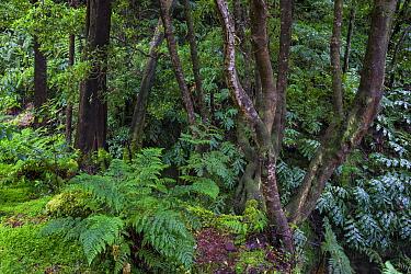 Laurisilva forest. Natural Monument of Caldeira Velha, Ribeira Grande, Sao Miguel Island, Azores, Portugal.
