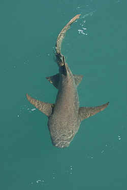 Tawny nurse shark (Nebrius ferrugineus) at water surface. Talbot Bay, The Kimberley, Western Australia.