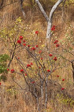 Kimberley rose (Brachychiton viscidulus). Cyclone Creek, Talbot Bay, The Kimberley, Western Australia