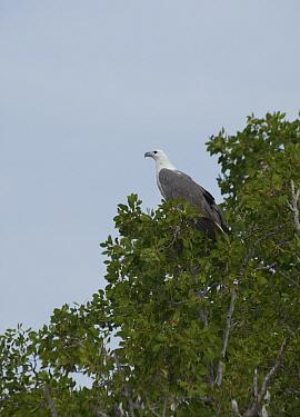 White-bellied sea eagle (Haliaeetus leucogaster) perched in tree. Porosus Creek, Hunter River, Prince Frederick Harbour, The Kimberley, Western Australia.