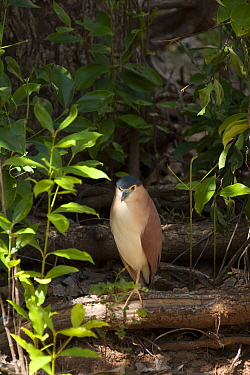 Nankeen night heron (Nycticorax caledonicus) standing on log. Ord River, The Kimberley, Western Australia.
