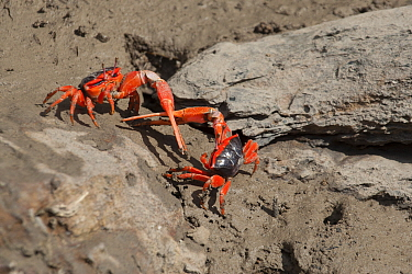 Flame fiddler crab (Uca flammula), two males displaying and fighting with sword-like pincers. Cyclone Creek, Talbot Bay, The Kimberley