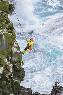 Man abseiling down cliff to collect seabird eggs including those of Common murre / guillemot (Uria aalge). Skoruvikurbjarg cliffs, Langanes Peninsula, Iceland. May 2018.