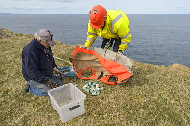 Two men on cliff top with Common guillemot / murre (Uria aalge) eggs collected from cliff face. Skoruvikurbjarg cliffs, Langanes Peninsula, Iceland. May 2018.