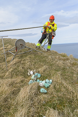 Man abseiling over cliff edge to collect seabird eggs. Pile of eggs on cliff top including those of Common murre / guillemot (Uria aalge). Skoruvikurbjarg cliffs, Langanes Peninsula, Iceland. May 2018...