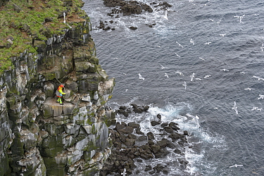 Man abseiling down cliff to collect seabird eggs including those of Black-legged kittiwake (Rissa tridactyla) and Common murre / guillemot (Uria aalge). Skoruvikurbjarg cliffs, Langanes Peninsula, Ice...