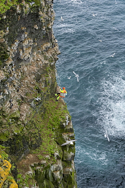 Man abseiling down steep cliff face to collect seabird eggs including those of Common murre / guillemot (Uria aalge). Skoruvikurbjarg cliffs, Langanes Peninsula, Iceland. May 2018.