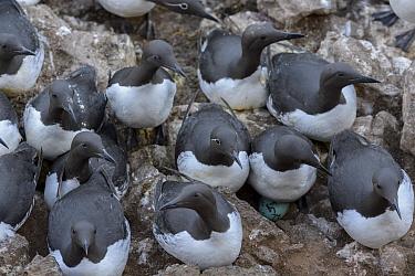 Common murre / guillemot (Uria aalge) breeding colony on rockface. Langanes Peninsula, northeast Iceland. May.