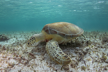 Green sea turtle (Chelonia mydas) grazing on sea floor, the Bahamas.