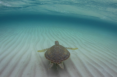 Green sea turtle (Chelonia mydas) swimming along the sandy sea floor, the Bahamas.