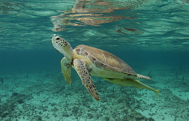Green sea turtle (Chelonia mydas) comes up for air in the waters off, the Bahamas.