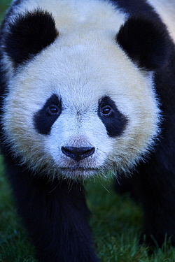 Giant panda (Ailuropoda melanoleuca) juvenile male aged 2 years, portait. Yuan Meng was the first Giant panda to be born in France. Zoo Parc de Beauval, France. Captive.