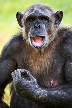 Chimpanzee (Pan troglodytes) female aged 37 years, portrait. Beauval Zoo Parc, France. Captive.