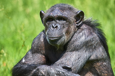 Chimpanzee (Pan troglodytes) female sitting with arms crossed, portrait. Beauval Zoo Parc, France. Captive.