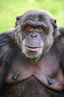 Chimpanzee (Pan troglodytes) female aged 41 years, portrait. Beauval Zoo Parc, France. Captive.