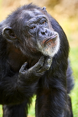 Chimpanzee (Pan troglodytes) female aged 37 years, scratching chin. Beauval Zoo Parc, France. Captive.