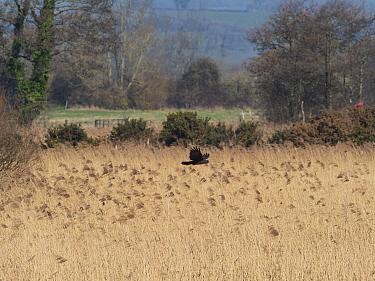 Marsh harrier (Circus aeruginosus) flying over reedbed. Ham Wall Nature Reserve, Somerset Levels, England, UK. February.