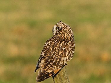 Short-eared owl (Asio flammeus) perched on a fence post. Tadham Moor, Tealham and Tadham Moor SSSI, Somerset Levels and Moors, England, UK. February.