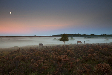 Ponies grazing around Holly (Ilex aquifolium) tree on heathland. Misty morning with moon overhead. Ocknell Plain and Broomy Bottomt, New Forest National Park, Hampshire, England, UK. September 2018.