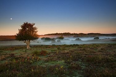 Holly (Ilex aquifolium) tree on misty heathland at sunrise, moon overhead. Ocknell Plain and Broomy Bottom, New Forest National Park, Hampshire, England, UK. September 2018.