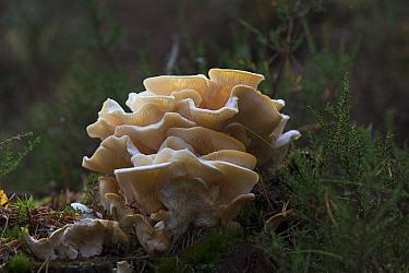 Angel's wings (Pleurocybella porrigens) fungi on Scot's pine (Pinus sylvestris) stump. Abernethy Forest RSPB Reserve, Strathspey, Highlands, Scotland, UK. October.