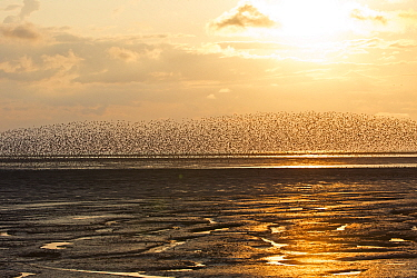 Red knot (Calidris canutus) flock in flight over mudflats at sunset. Snettisham RSPB Reserve, The Wash, Norfolk, England, UK. August 2018.