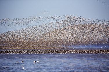 Red knot (Calidris canutus) flock in flight over intertidal mudflats with Eurasian oystercatcher flock (Haematopus ostralegus) on water below. At sunset, Snettisham RSPB Reserve, The Wash, Norfolk, En...