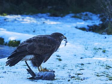 Common buzzard (Buteo buteo) feeding on dead Wood pigeon (Columba palumbus). Snow covered garden lawn, Ringwood, Hampshire, England, UK. February.