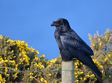 Raven (Corvus corax) perched on fence post among flowering Common gorse bushes (Ulex europaeus) on a clifftop with the sea in the background, Cornwall, UK, April.