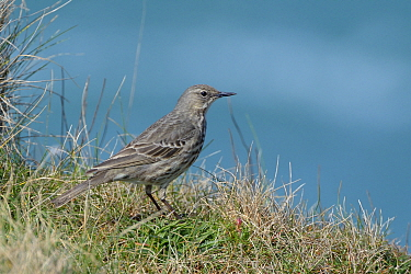 Rock pipit (Anthus petrosus) perched on cliff edge grassland with the sea in the background, Cornwall, UK, April.